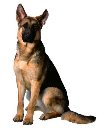 German sheperd for how to draw dogs