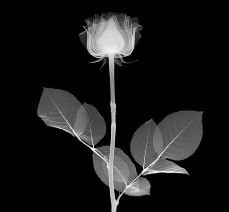 rose drawing with the help of an X-ray